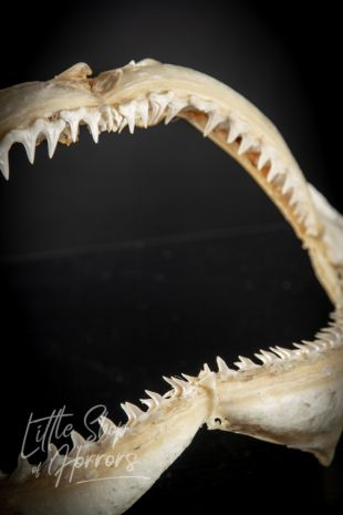 Blacktip Reef Shark Jaws 33cm