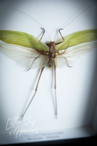 Heteropteryx Dilatata (Green Nymph) Entomology Taxidermy Frame Little Shop of Horrors Costumes & Collectables