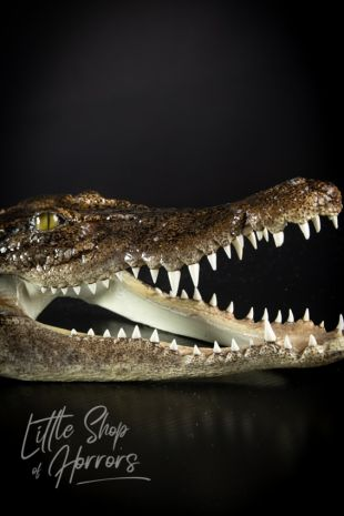 Saltwater Crocodile Skull 25-30cm